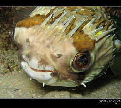 Cute looking Spiny Puffer with a smile...................... by Brian Mayes